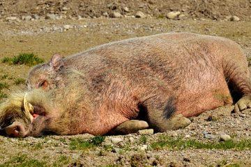 Comment conserver les restes de rôti de porc rôti de porc