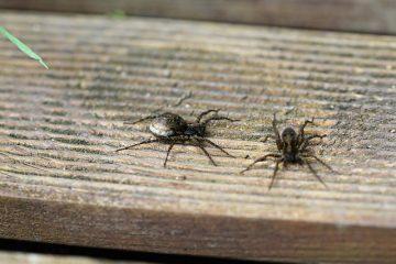 Comment identifier les sacs d'œufs d'araignée