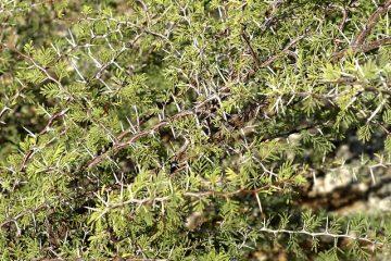 Quand élaguer Viburnum tinus