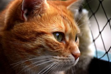 Toilettage excessif dans la région génitale chez les chats.