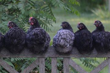 Types de coqs et poules
