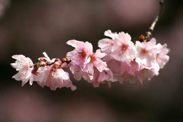 Acajou ou bois de cerisier