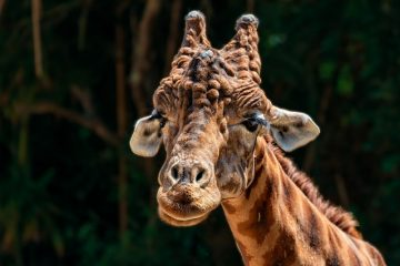 Adaptations de survie d'une girafe