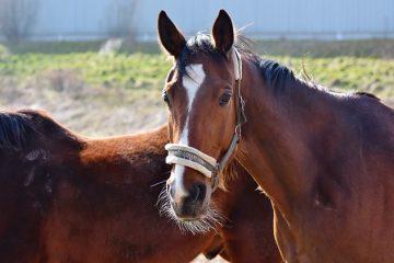 Causes d'une surdose grave chez un cheval