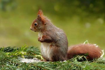 Comment entraîner les écureuils gris