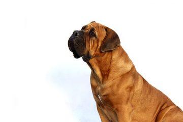 Les vers canins peuvent-ils être contagieux pour les humains ?