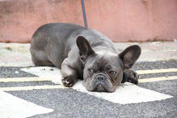 Pourquoi les chiens frottent-ils leurs fesses sur le sol ?