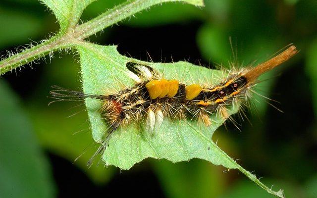 Caterpillars qui mangent des buissons à feuillage persistant