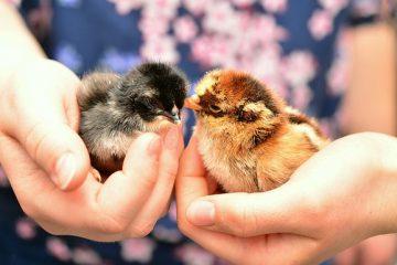 Comment dépoussiérer les poulets pour les acariens