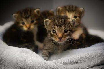 Comment empêcher les chats âgés d'uriner dans la maison ?
