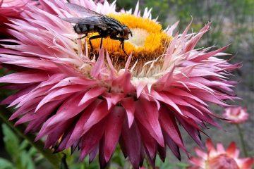 Comment planter des lilas
