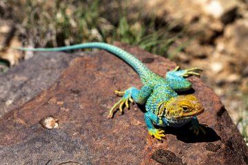 Cycle de vie des lézards à collier à froufrous