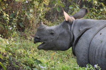Quelles sortes de plantes les rhinocéros mangent ?