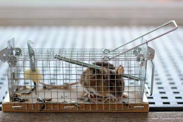Comment attraper une souris rapidement