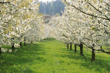 Comment transplanter des cerisiers