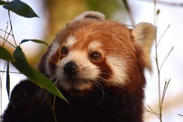 Le cycle de vie complet du panda géant