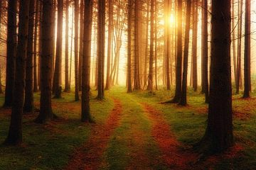 Les problèmes de la forêt de conifères