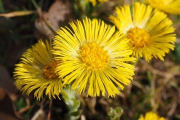 Remède naturel pour la toux du chenil