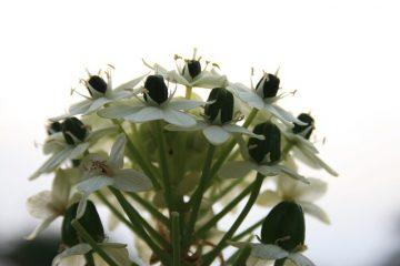 Comment cultiver l'ornithogalum