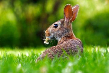 Comment prendre soin des lapins nains