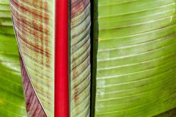 Comment tailler les plantains de culture des pruneaux