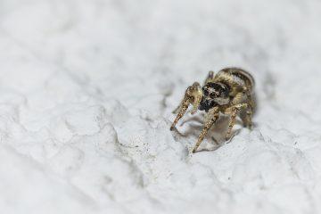 Des araignées qui se relèvent lorsqu'elles sont menacées