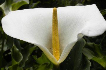 Mes fleurs de lys calla ne fleurissent pas.