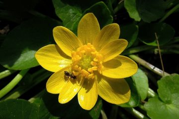 Soins de la variole de Ranunculus
