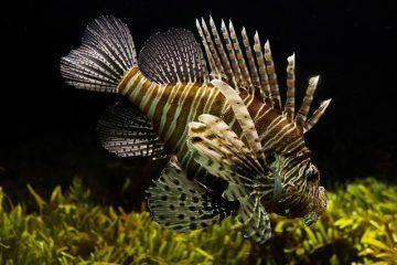 Comment ajouter du sel à l'aquarium de poissons rouges