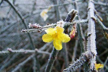 Pourquoi ma plante de jasmin semble-t-elle morte après l'hiver ?