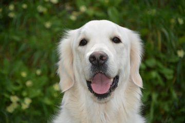 Thyroïde sous-active chez le chien