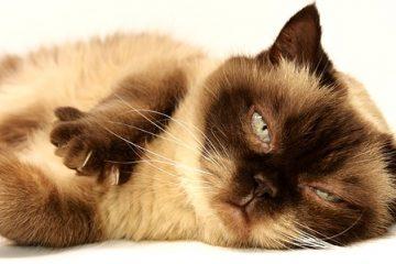 Traitement de la thyroïde pour les chats