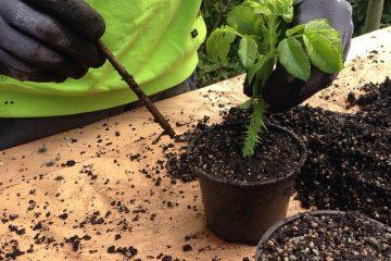 Comment cultiver le daphné à partir de boutures