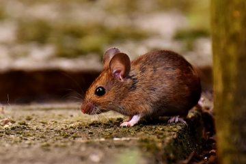 Comment repousser les souris