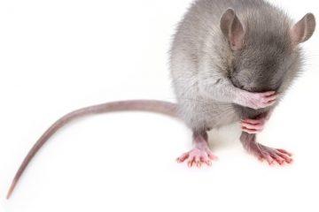 Comment utiliser la menthe pour repousser les souris