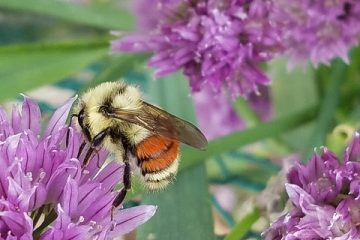 Des insectes bénéfiques et nuisibles qui sont attirés par la lavande.