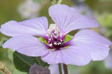 Est-ce qu'une plante d'hibiscus donne des démangeaisons sur les bras ?