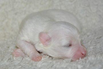 Le meilleur chien de race pour les chiens de basse mue et à faible odeur.