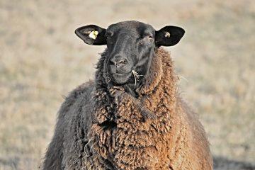 Problèmes avec les oreilles de mouton