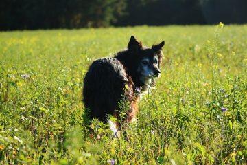 Quelles sont les huiles essentielles qui tuent les earmites chez les chiens ?