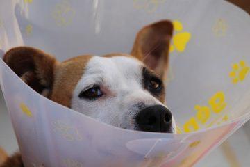 Soulagement de la douleur à domicile pour les muscles des pattes tractés chez les chiens.