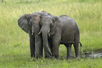 A quoi servent les défenses en ivoire ?
