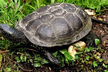 Comment dire quel est le sexe de votre tortue géographique du Mississippi ?
