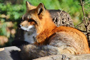 Comment empêcher la fourrure de renard de perdre son pelage