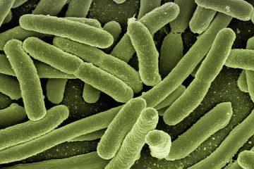Comment le système immunitaire lutte-t-il contre les bactéries ?