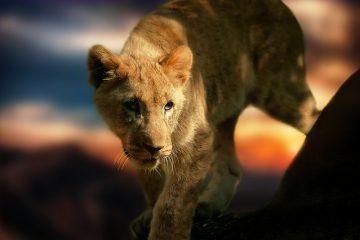 Faits sur les bébés Lions