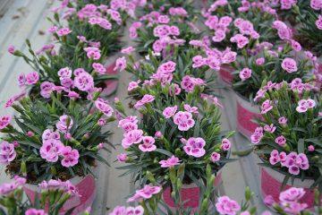 Instructions étape par étape pour la fabrication d'un bouquet Carnation Posy.