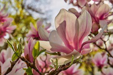 Les fleurs de magnolia sont-elles toxiques pour les chiens ?