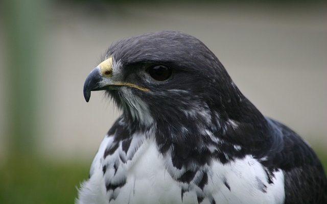 Comment dessiner un Faucon volant