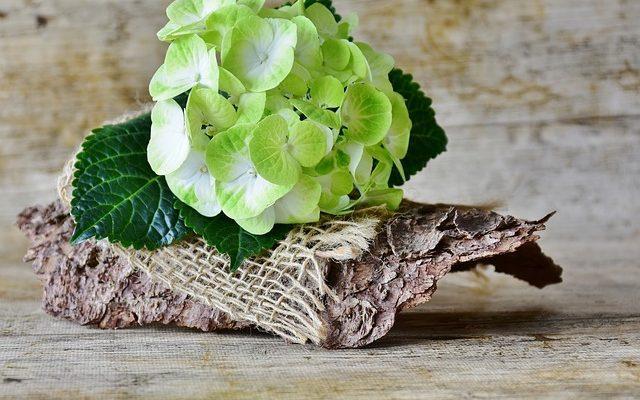 Comment raccourcir un hortensia